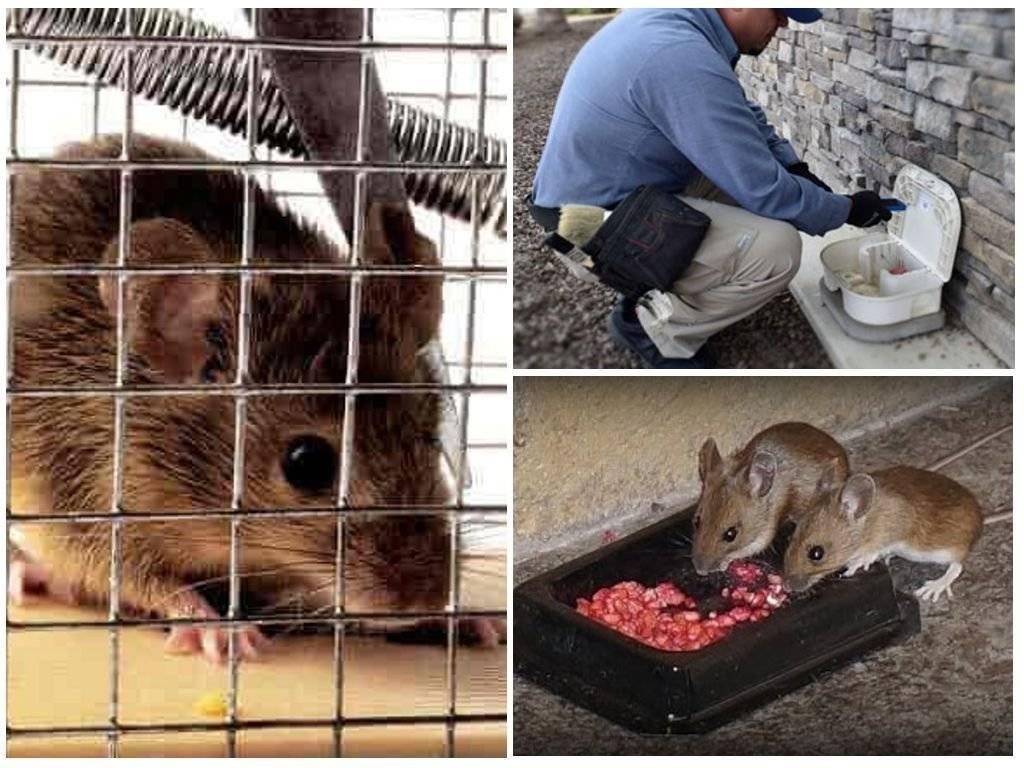 Что больше всего не любят крысы: ароматы трав, запахи животных и звуковые импульсы