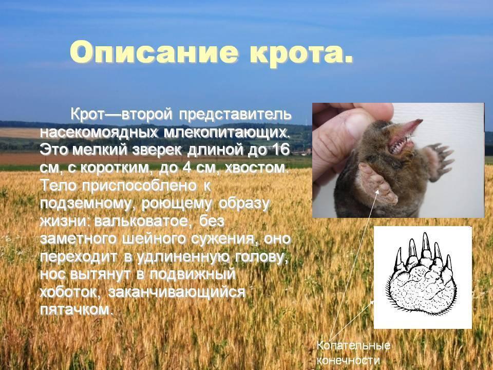 Крот животное. описание, особенности, виды, образ жизни и среда обитания крота