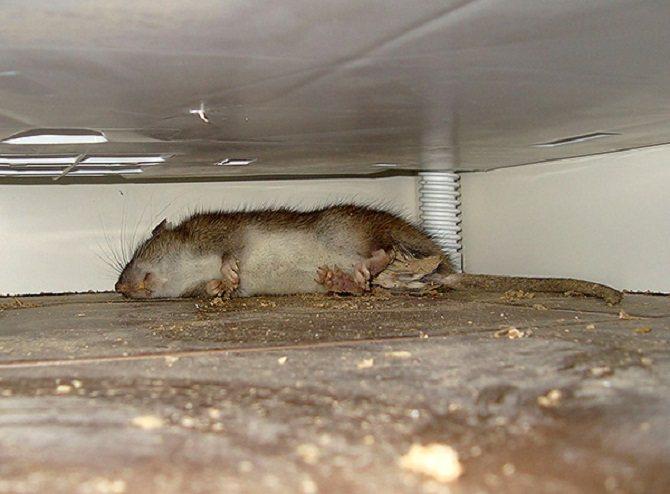 Как уничтожить мышей и крыс в подвале: ловушки, яды, отпугиватели и народные методы