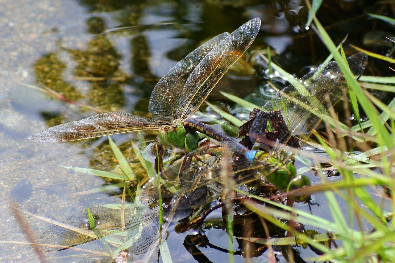 Водяной клоп: хищник, скрывающийся в водоемах. внешний вид и строение