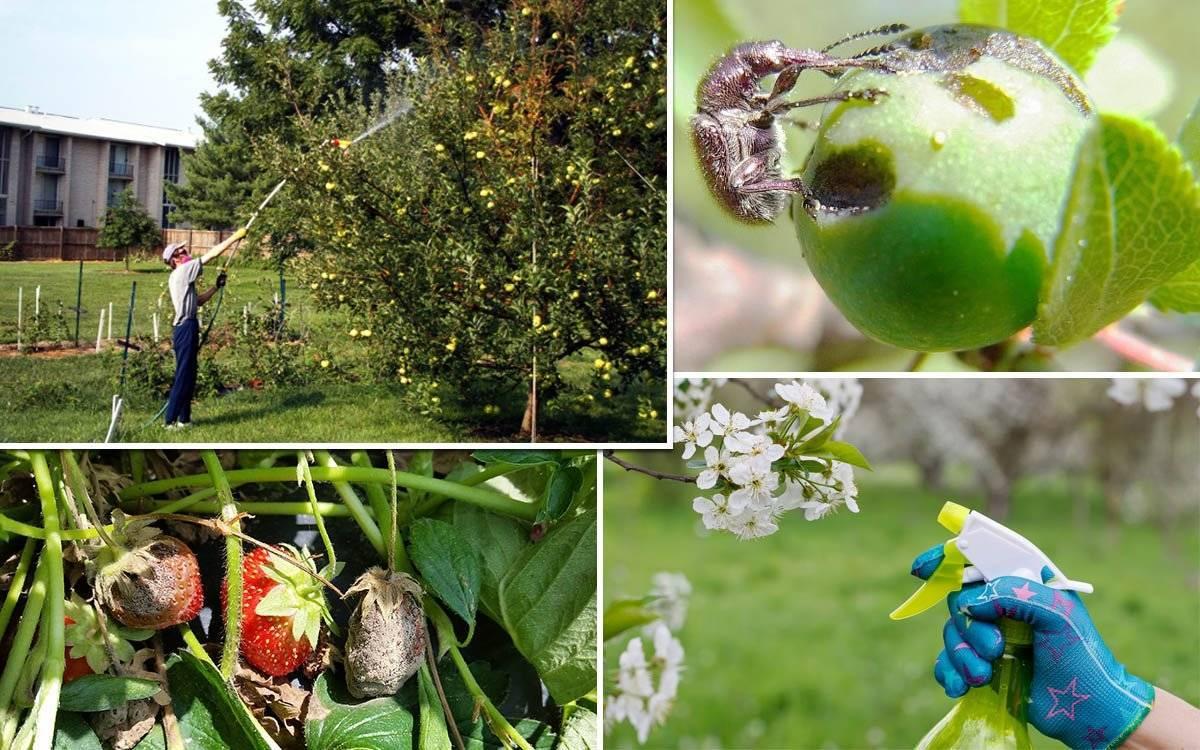 Когда опрыскивать яблони от вредителей: советы опытных садоводов