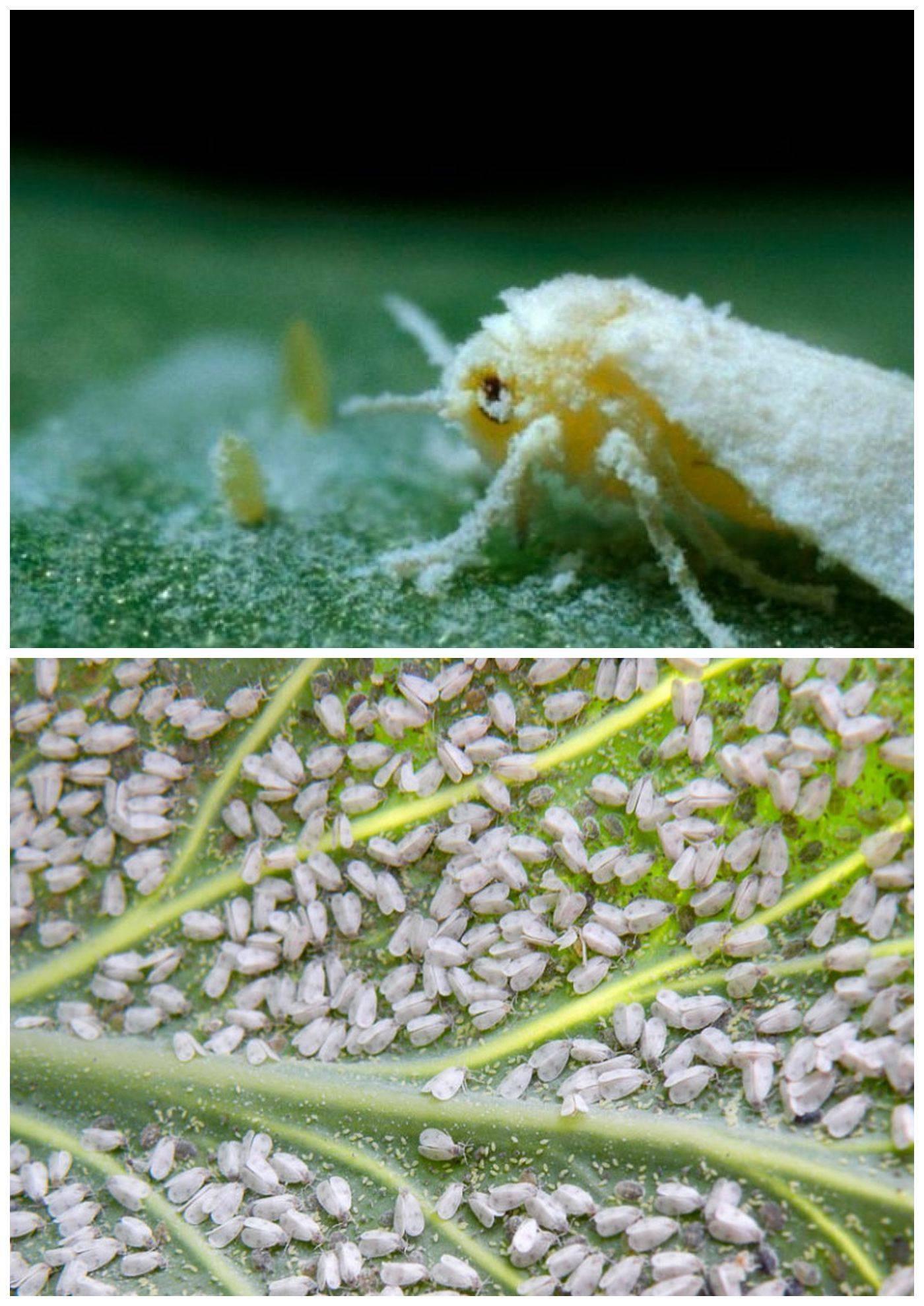 Белокрылка: как и чем защитить любимые растения?