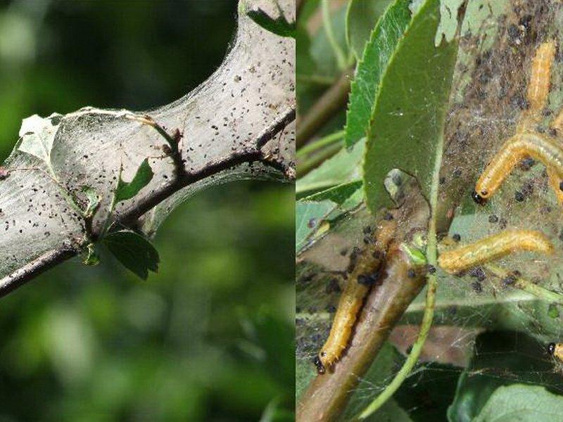 Зимняя пяденица. как избавиться от уничтожителя листвы