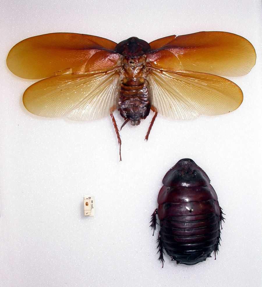 Умеют ли летать тараканы