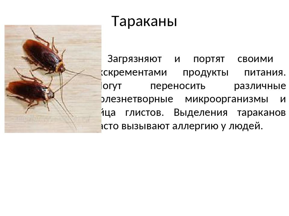 5 опасностей тараканов для человека в квартире: инфекции, болезни
