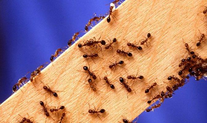 Как избавиться от муравьёв в квартире