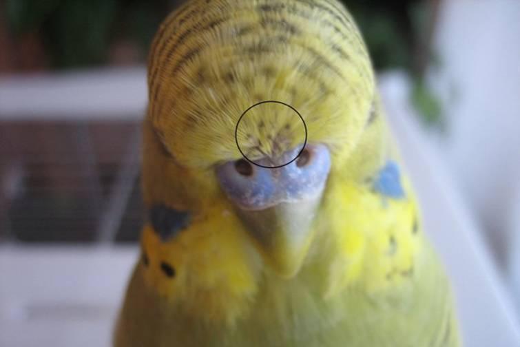 Блохи у попугаев: что делать, как вывести
