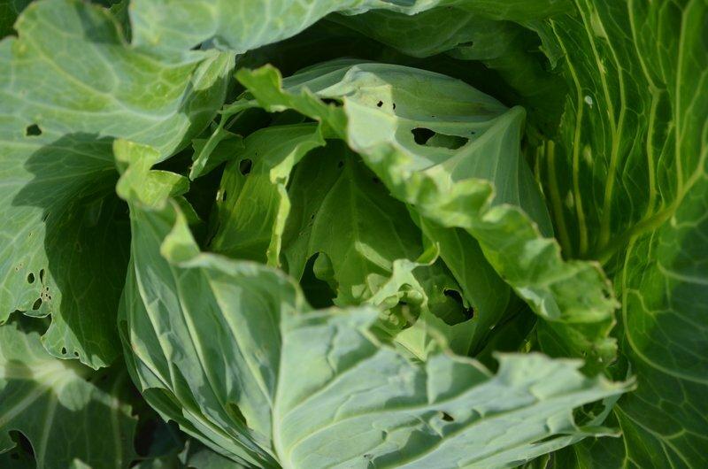 Чем и как обработать капусту, чтобы избавиться от слизней и гусениц: народные средства