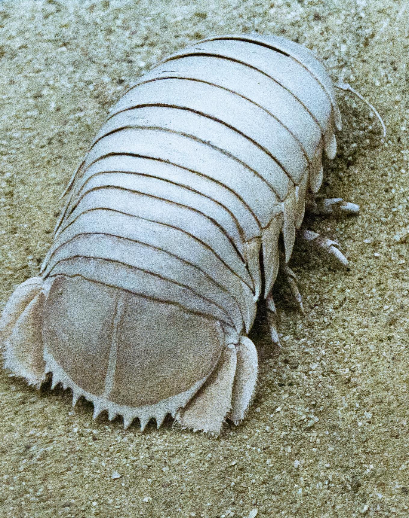 Морской таракан  что за чудо юдо