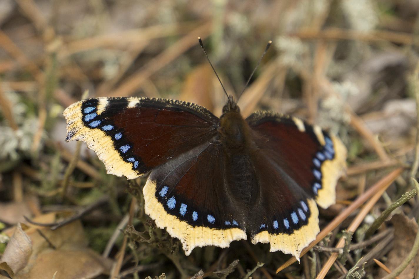 Траурница – красивая бабочка с печальным названием - животные