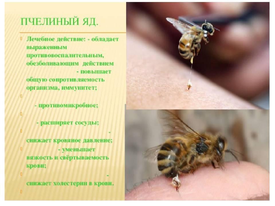 Чем полезен укус пчелы для человека. вред укусов