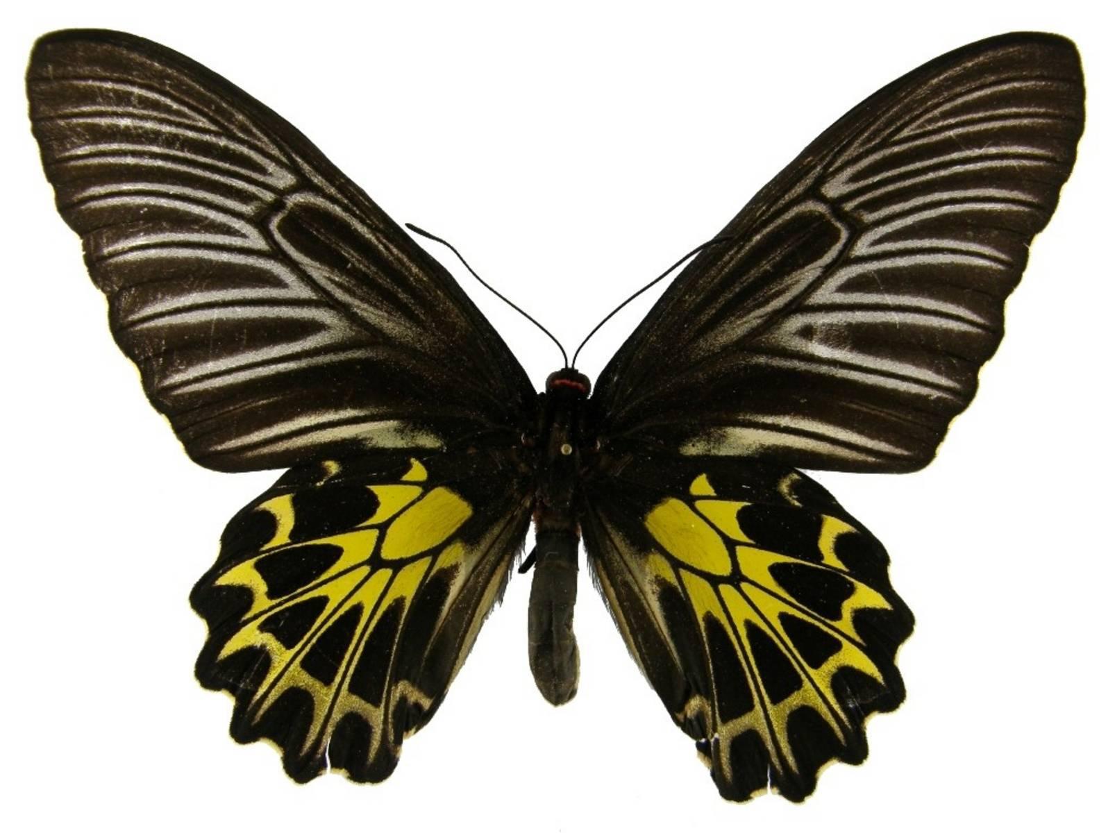 Ночные бабочки – насекомые, фото с названиями