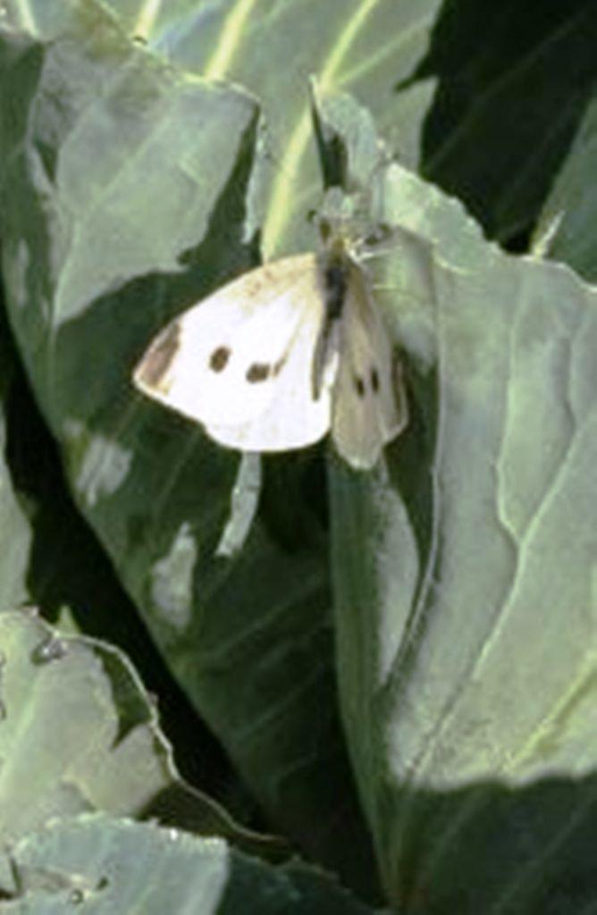 Какие растения отпугивают бабочку капустницу, народные средства от гусениц какие растения отпугивают бабочку капустницу, народные средства от гусениц