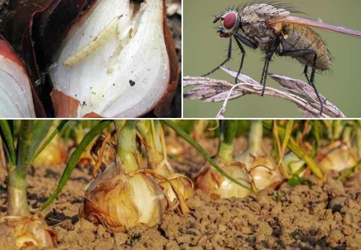 Луковая муха на огороде: способы борьбы, средства уничтожения