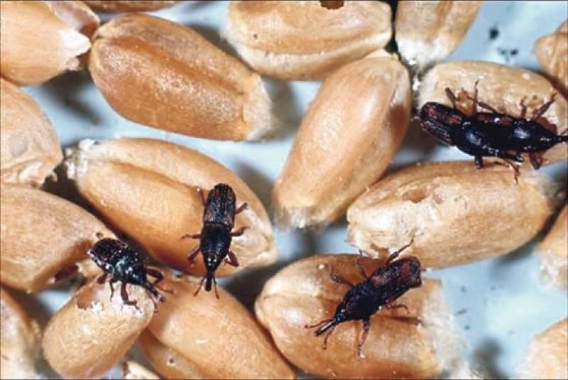 Как избавиться от долгоносика: особенности жука и вред от него, обзор лучших химических препаратов и проверенные методы борьбы подручными средствами