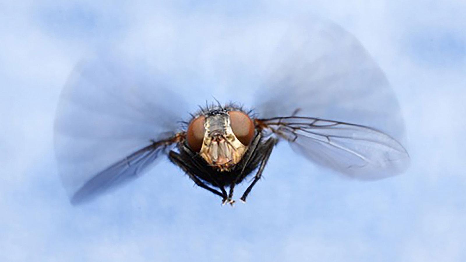 Какая скорость полета мухи — ответы ученых