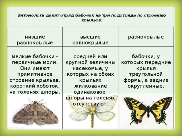 Моль: основные виды, образ жизни и питания, размножение, фото