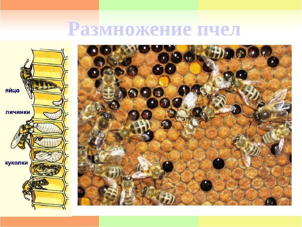 Пчела: интересные факты о пчелах. дикие и домашние.