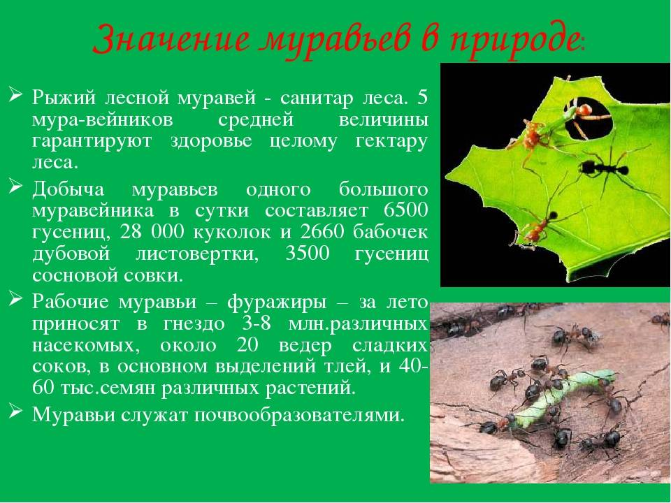 Какую пользу приносят муравьи лесу, саду, теплице, медицине