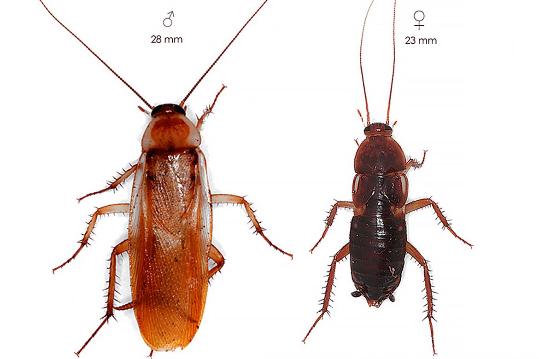 Туркменские тараканы: фото, описание, содержание и разведение