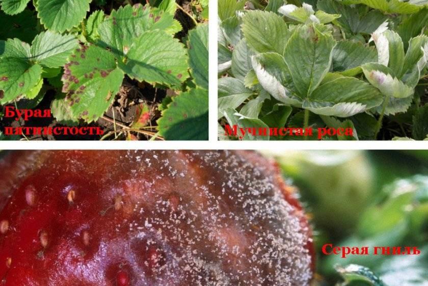 Фитоверм: инструкция по применению для растений, отзывы, когда обрабатывать, для клубники, огурцов, комнатных цветов, роз, смородины,от тли