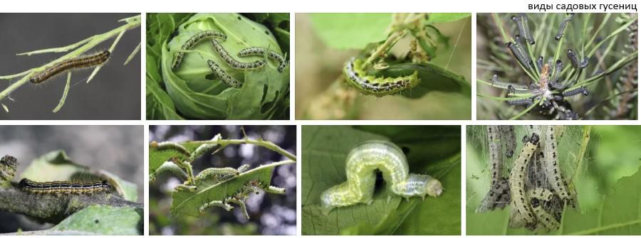 Что делать, если капусту едят гусеницы? народные средства борьбы с гусеницами