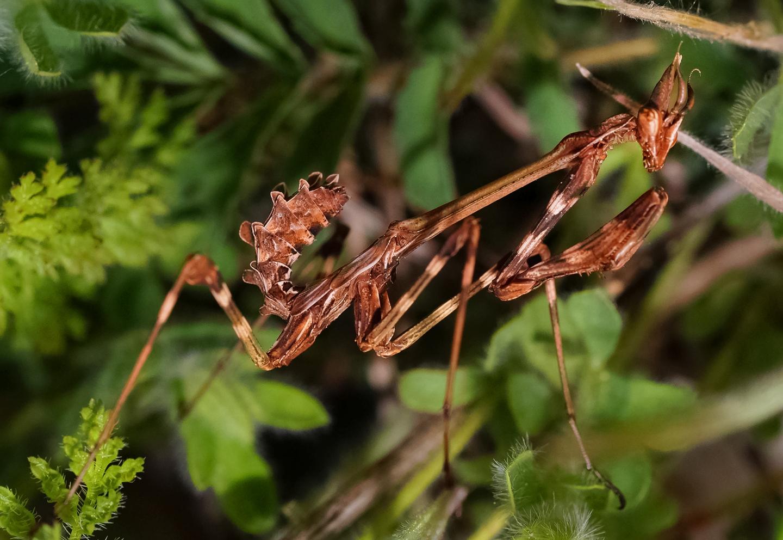 Богомол - чем питается, где обитает и чем знаменито насекомое (115 фото)