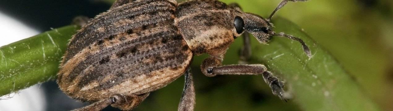 Яблоневый цветоед: внешний вид и жизненный цикл насекомого