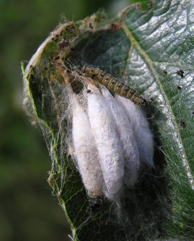 Самые простые методы борьбы с горностаевой молью на яблоне