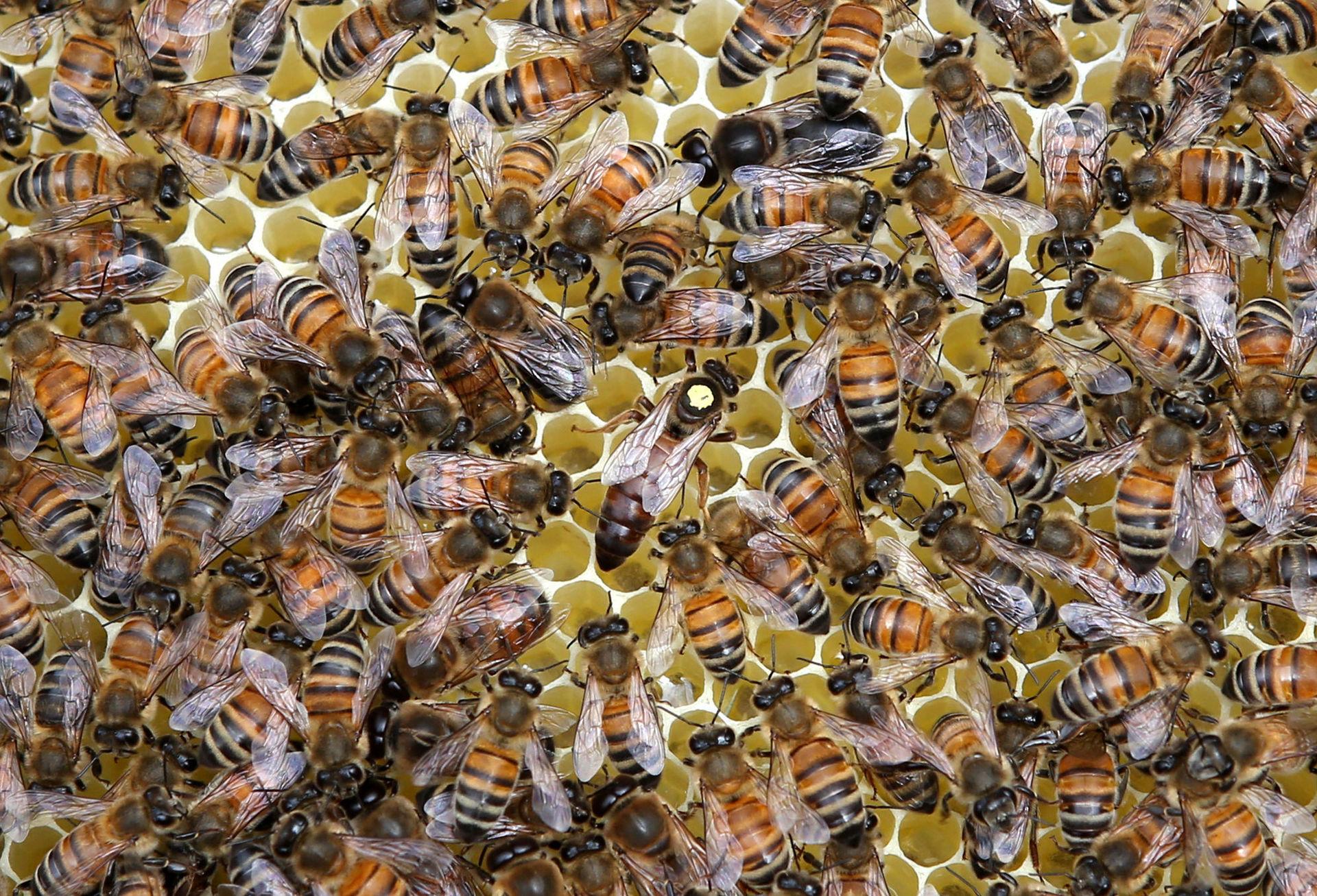 Пчела «карника» — особенности породы