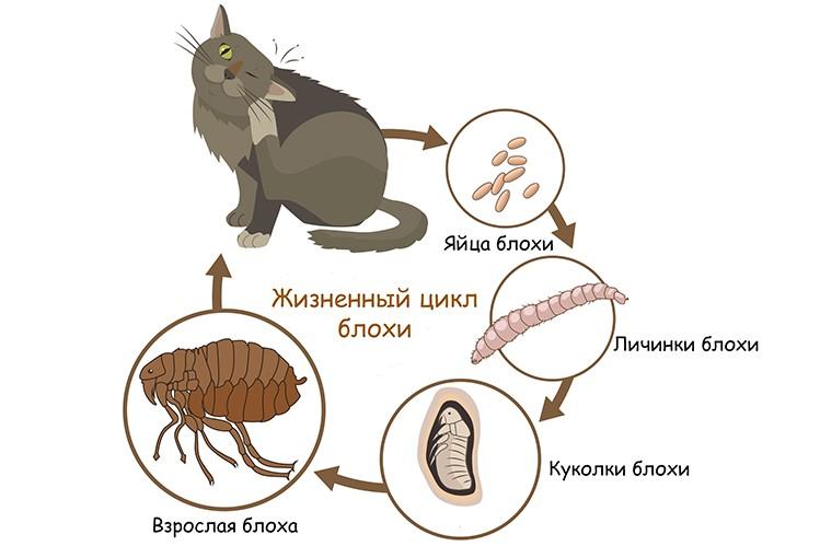 Кусают ли кошачьи блохи людей: как избавится от паразитов у животного и в доме