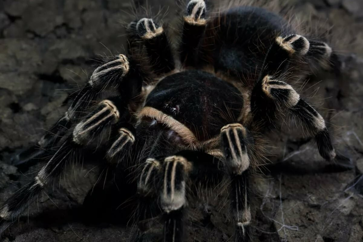 Самые страшные пауки – мифы и реальность
