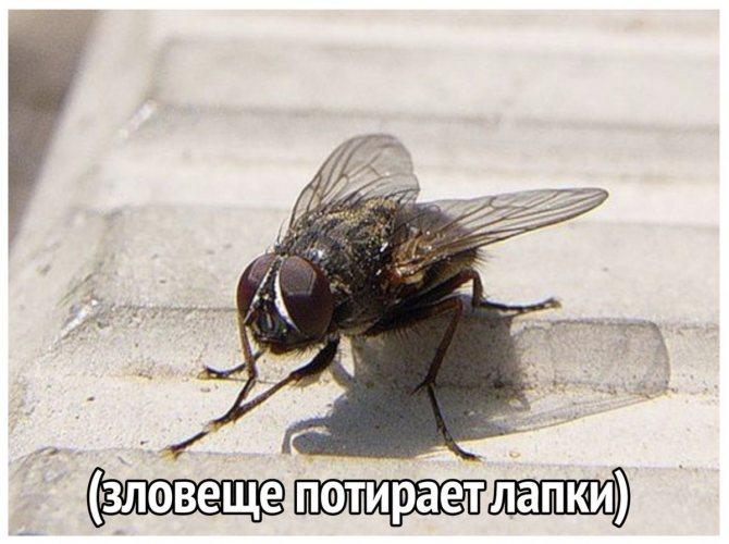 Ученые выяснили, почему мухи трут лапки