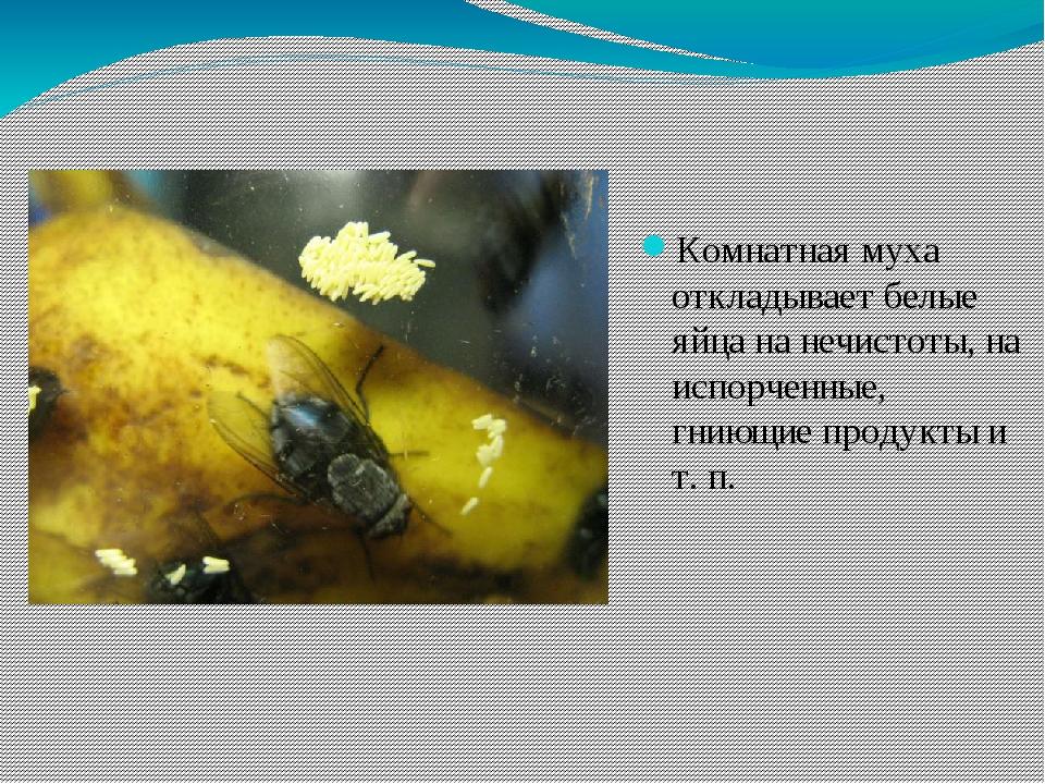 Как размножаются мухи комнатные - этапы развития