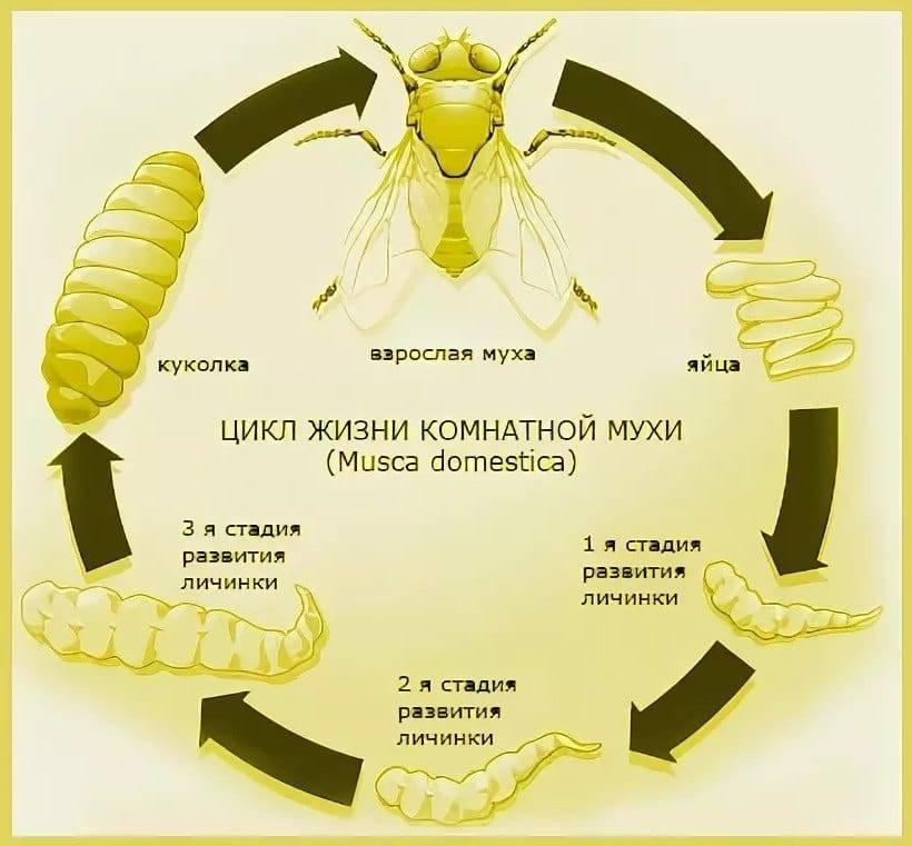 Исследование продолжительности жизни мух  | творческие проекты и работы учащихся