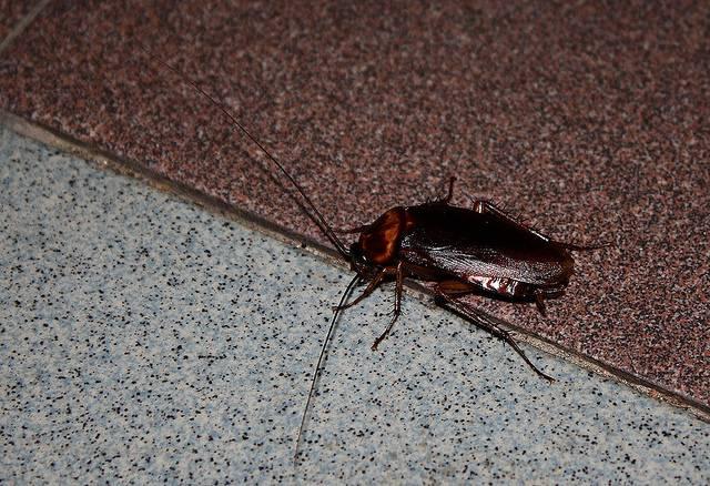 Кусают ли тараканы людей и как выглядит укус