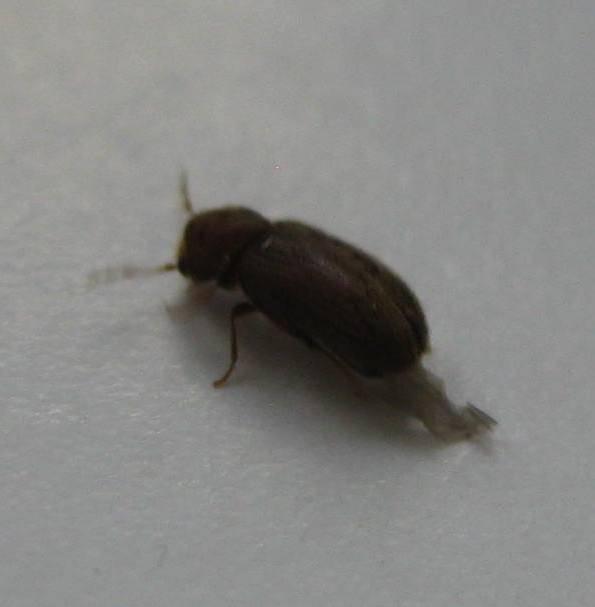 Почему появляются маленькие коричневые жучки в квартире: кто они и как уничтожить вредных насекомых