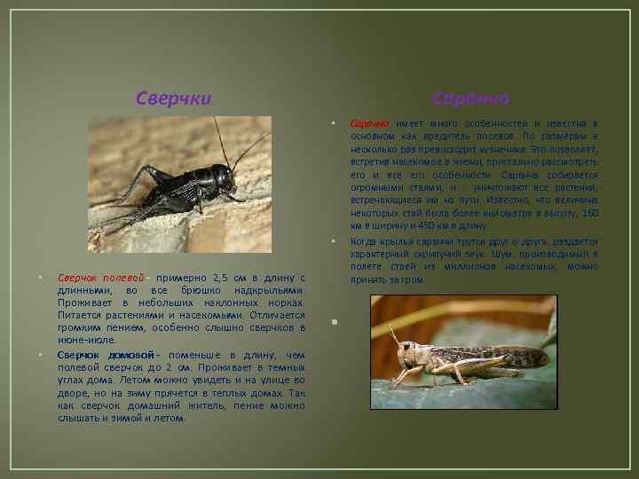 Описание и фото полевого сверчка