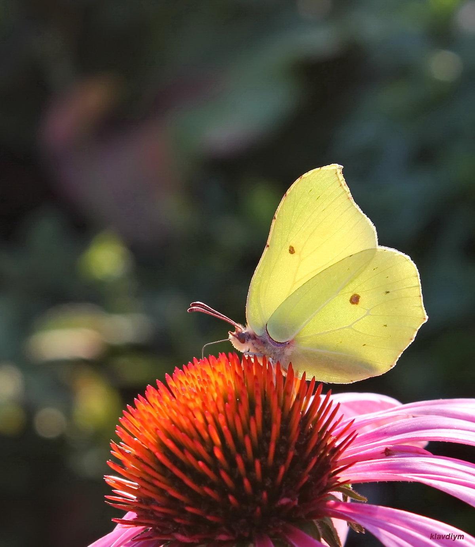 Какова продолжительность жизни бабочки, сколько дней может бабочка жить дома