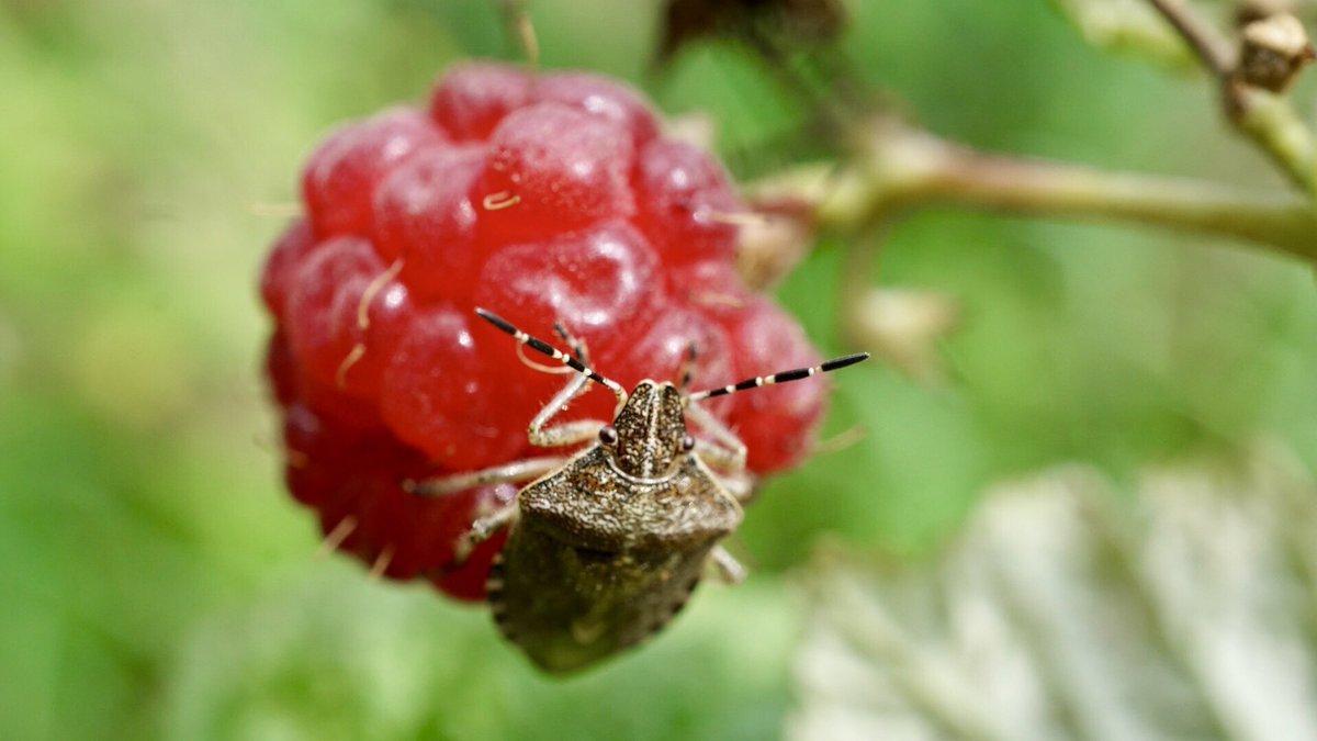 Как бороться с тлей на смородине и с долгоносиком на малине. как избавиться от вредителей на садовом участке