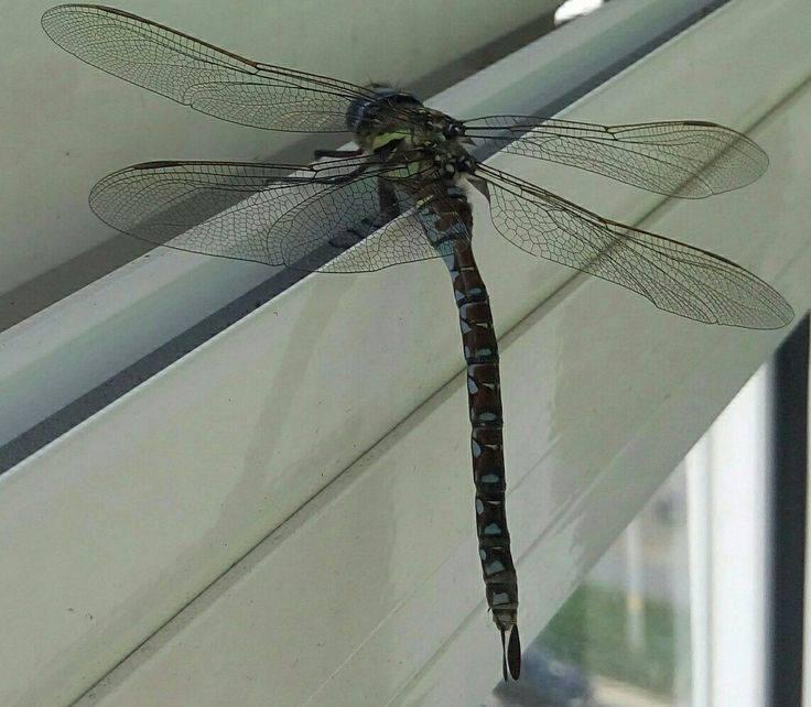 Стрекоза - фото и описание, виды стрекоз, чем питается и где обитает, интересные факты