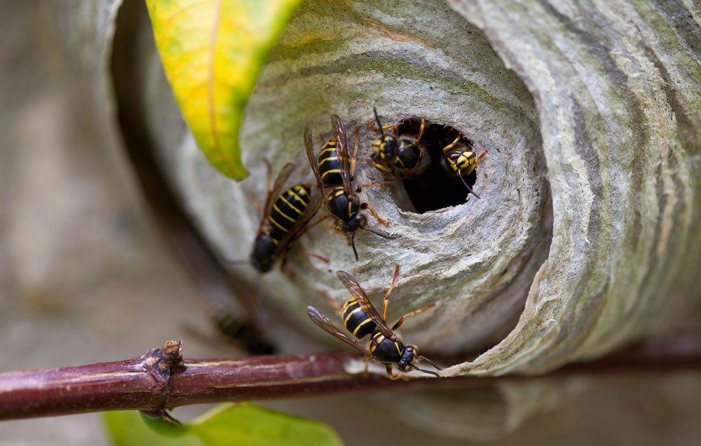 Как уничтожить осиное гнездо в земле - химические методы