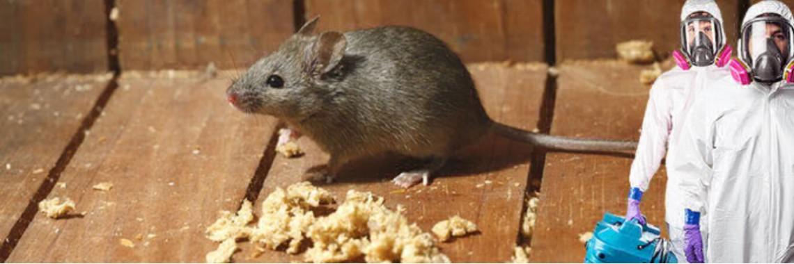 Что такое дератизация, и почему яд — не лучший способ уничтожить грызунов