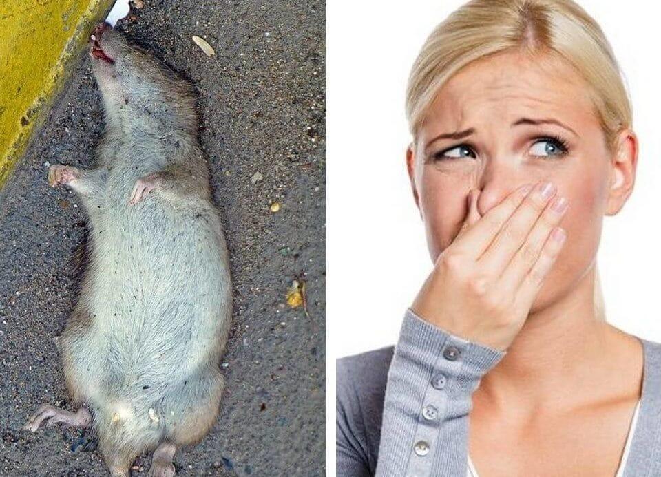 Как избавиться от запаха мышей в доме народными средствами (частный дом или квартира)