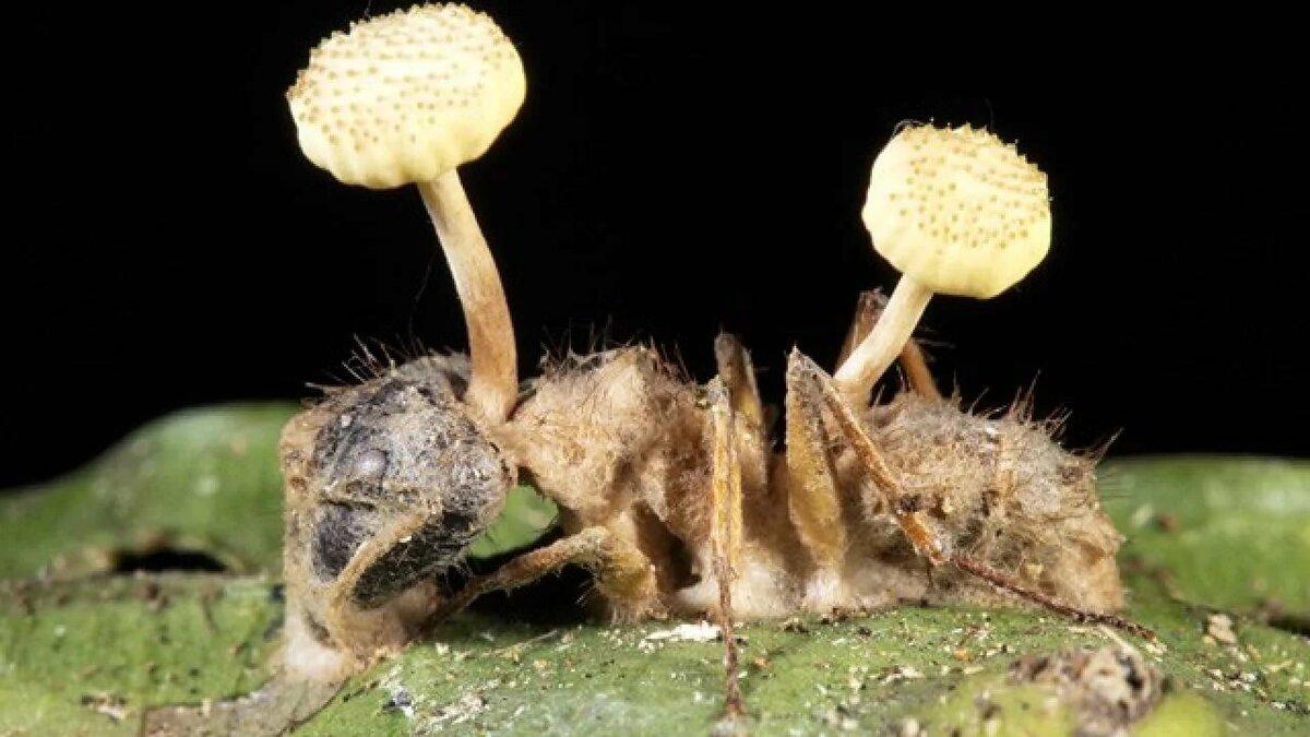 Как грибы-паразиты превращают муравьев в зомби? гриб-манипулятор строит внутри муравья-зомби трехмерную сеть