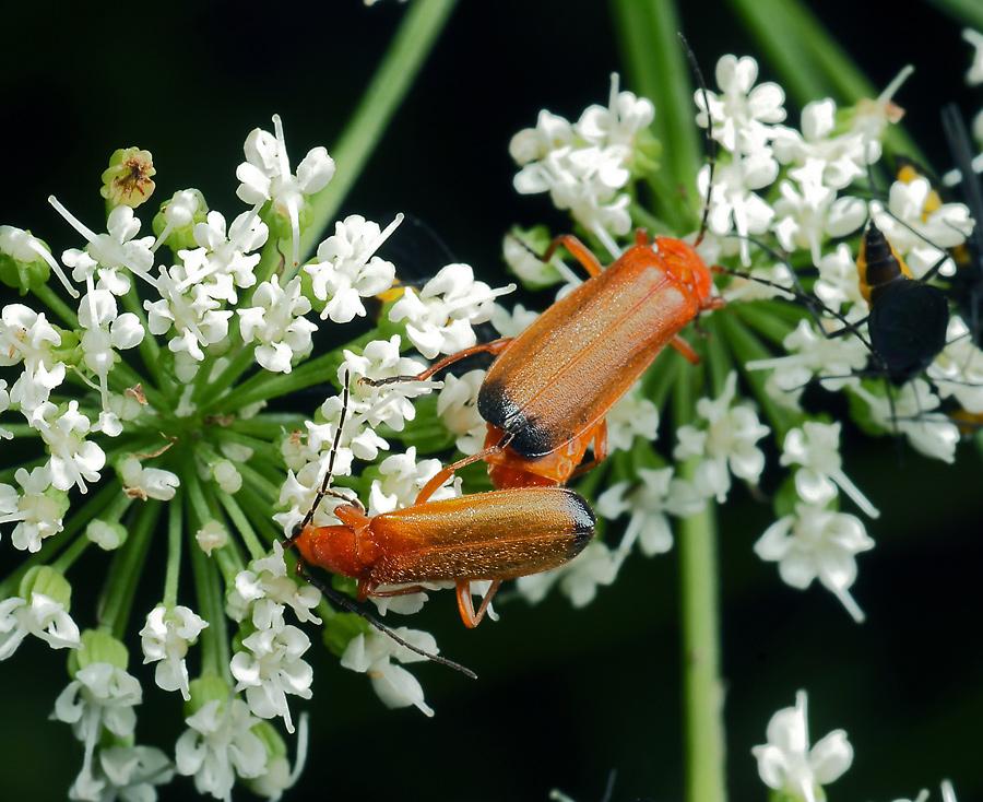 Мягкотелка рыжая — оранжевый истребитель на огороде