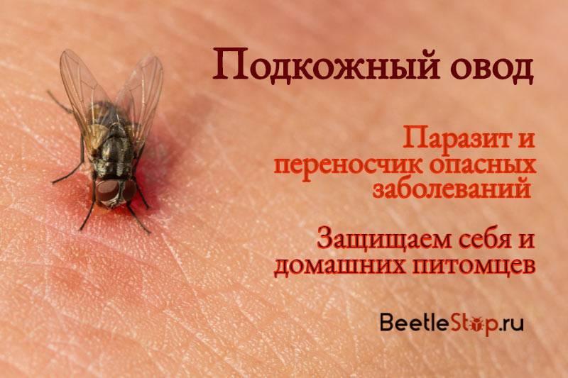 Овод: описание образа жизни насекомого, опасность для людей и животных