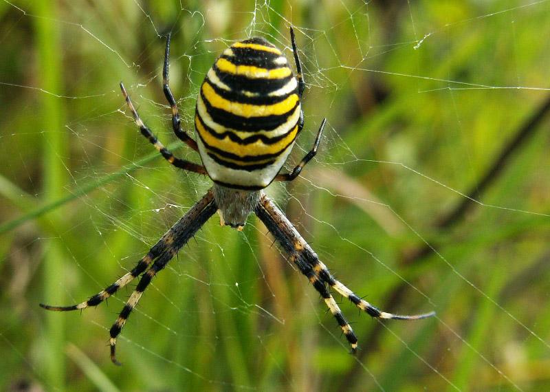 Аргиопа брюнниха (паук-оса, паук-зебра) - паукообразные животные, фото