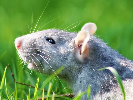 Сколько живут мыши