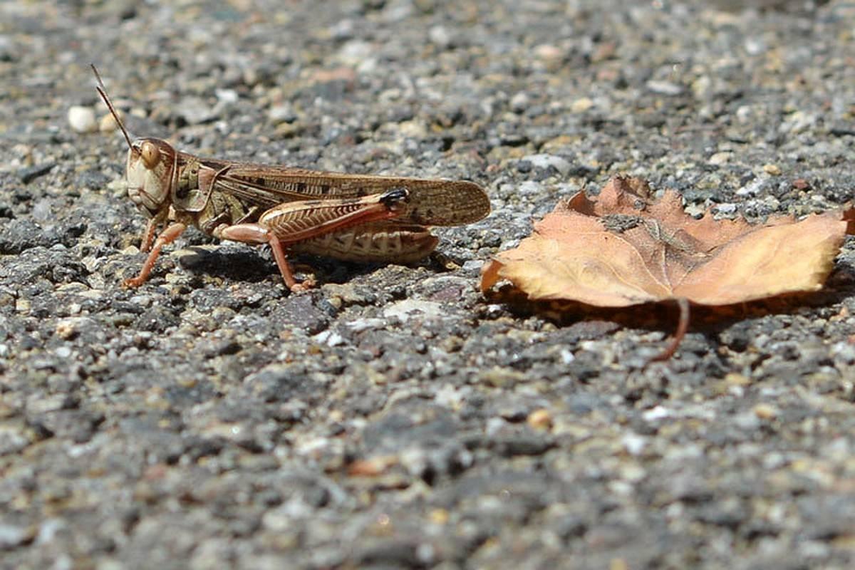 Саранча - описание, виды, характеристика, среда обитания и особенности насекомого-вредителя